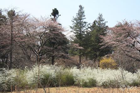 武蔵野公園-ユキヤナギ1IMG_9629