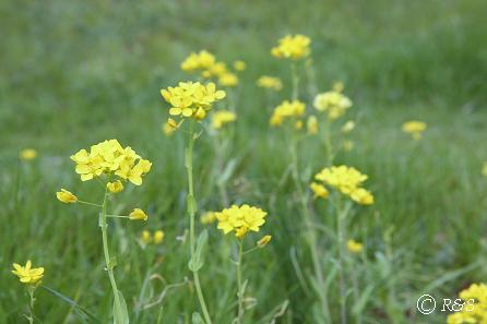 武蔵野公園-菜の花3IMG_9681