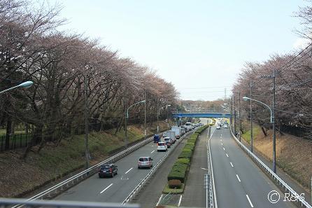 野川公園-桜2IMG_9707