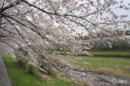 野川の桜3IMG_9904