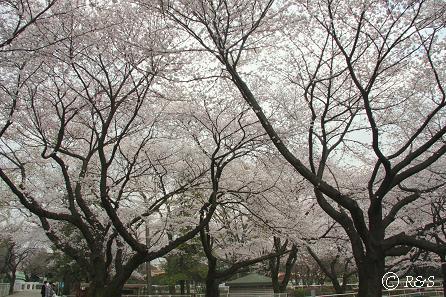 馬事公苑-桜2IMG_0121