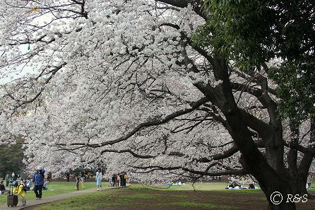砧公園-桜6IMG_9973