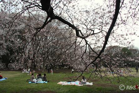砧公園-桜18IMG_9927