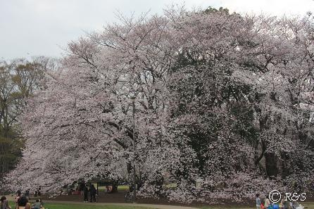 砧公園-桜19IMG_9923