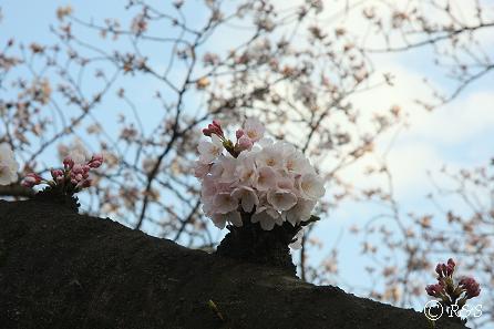 東宝-桜1IMG_0031