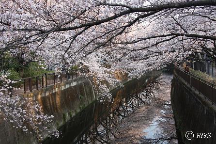 東宝-桜5IMG_0040