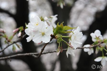 新宿御苑-おおしまざくら2IMG_0271