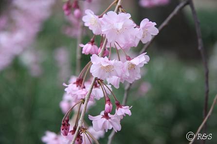 新宿御苑-シダレザクラ3IMG_0285