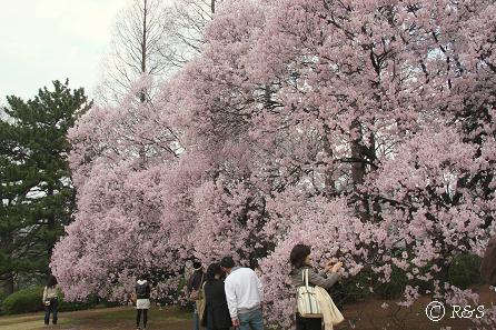 新宿御苑-コヒガン1IMG_0248