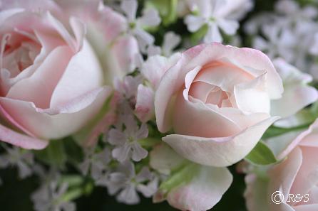 ピンクのバラ4IMG_1426