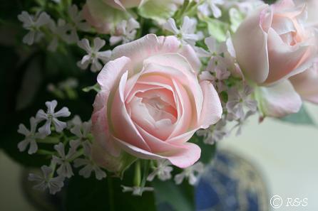 ピンクのバラ5IMG_9502-1