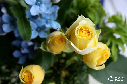 黄色のバラ2IMG_1410