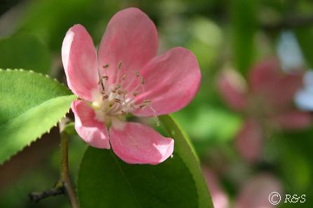 花梨の花IMG_9750