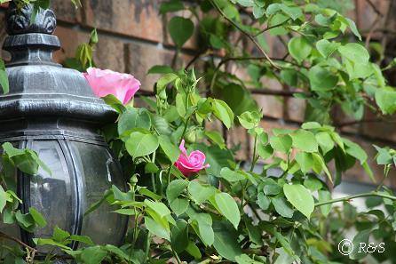 よその庭-バラ1IMG_2445