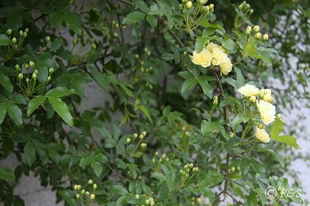 よその庭-モッコウバラ1IMG_2427