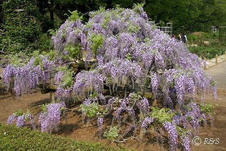 神代植物公園-藤1IMG_3223-1