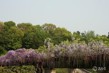 神代植物公園-藤7IMG_3234