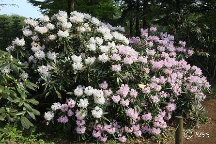 神代植物公園-シャクナゲ1IMG_3203