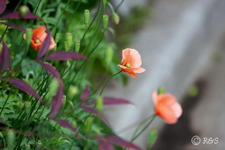 近所の花2IMG_3767