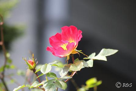近所のバラ1IMG_3722