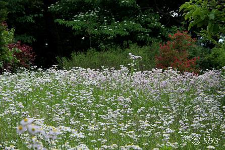 緑地の雑草1IMG_0257