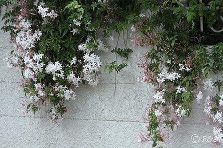 近所の花11IMG_4824