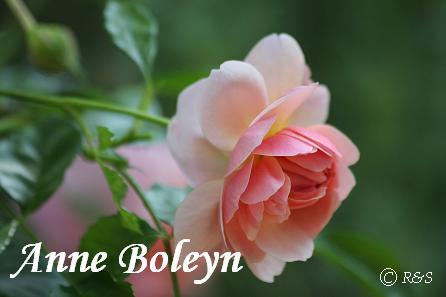 アンヌ・ボレイン20080522-13IMG_8173