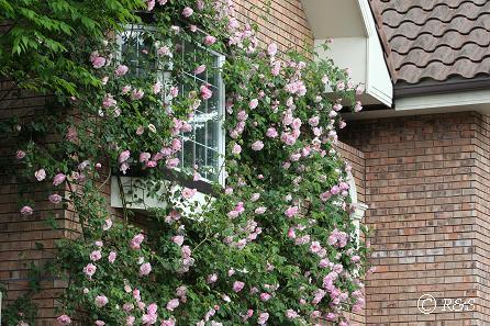 近所の花4IMG_4790