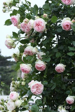 第一園芸の花20080522-6IMG_8335