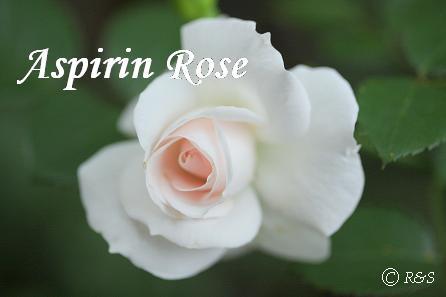 アスピリン・ローズ20080609-11IMG_8494