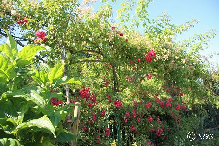 iモネの庭6IMG_9853