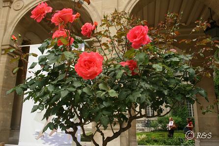 cマレ-ミュージアムのバラ1IMG_0462