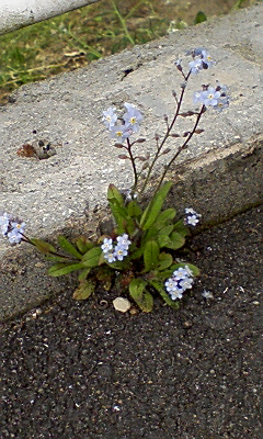 4.26PALの敷地内の雑草の花