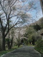 桜の咲く城山への道01