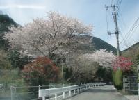 桜の咲く城山への道02