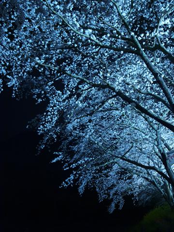 西伊豆松崎町 那賀川沿いの桜 夜桜ライトアップ
