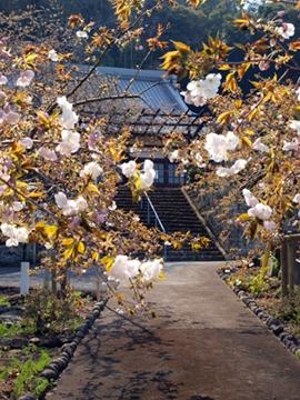 西伊豆土肥 最福寺のしだれ桜4