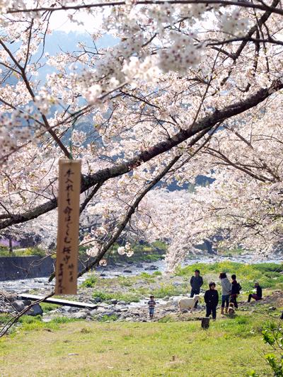 西伊豆松崎町 大沢温泉の桜1
