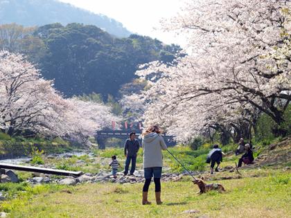 西伊豆松崎町 大沢温泉の桜2
