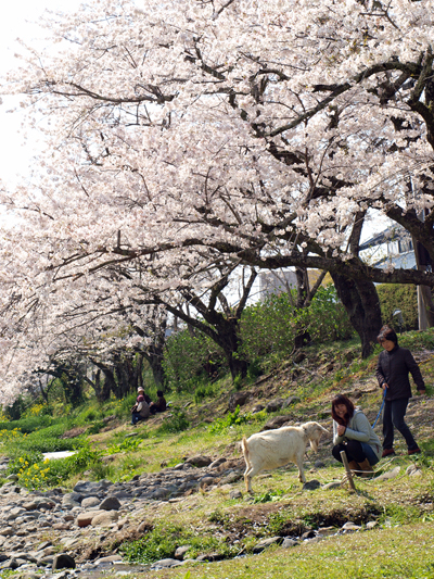 西伊豆松崎町 大沢温泉の桜3