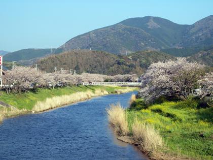 西伊豆松崎町 那賀川の桜