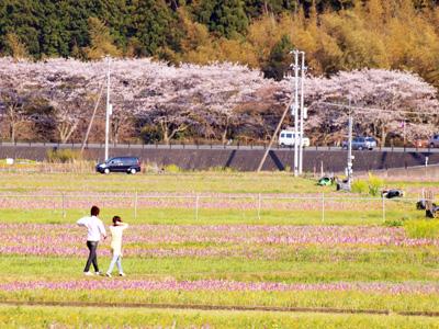 西伊豆松崎町 田んぼを使った花畑