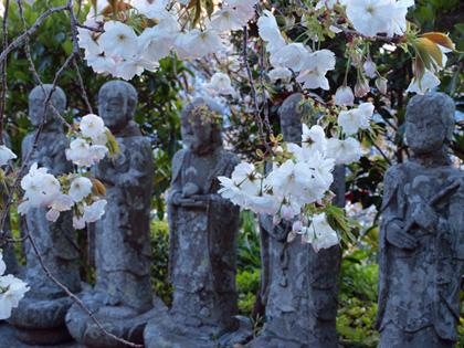 伊豆市土肥 最福寺のしだれ桜3