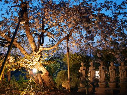 伊豆市土肥 最福寺のしだれ桜 夜桜ライトアップ1