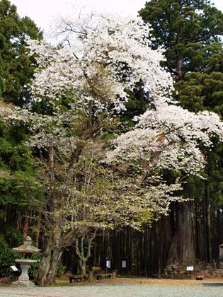 西伊豆松崎町 宝蔵院の大島桜
