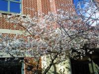 桜(ロールクール脇)