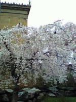 フィラデルフィア美術館前の枝垂桜