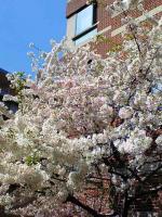 桜4月10日