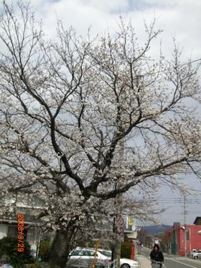 吉井駅前の満開の桜