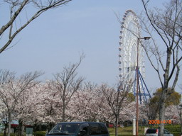 ここも桜並木・・・